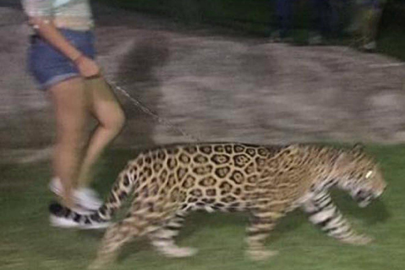 Pasean a jaguar en calles de Culiacán; Profepa investiga