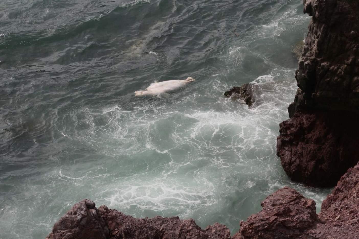 Inexplicable. Siguen apareciendo lobos marinos muertos