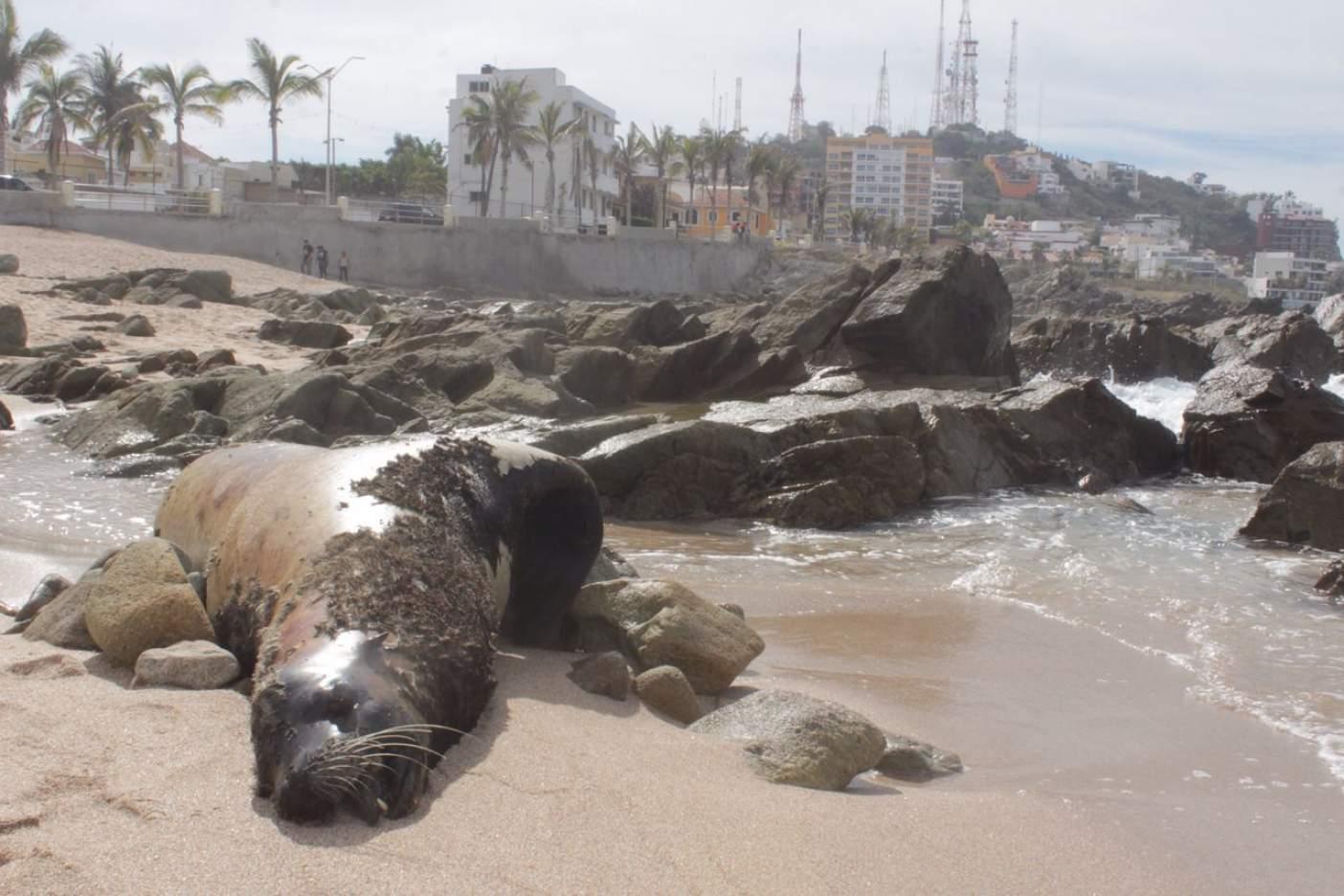 Siguen apareciendo lobos marinos muertos en Mazatlán