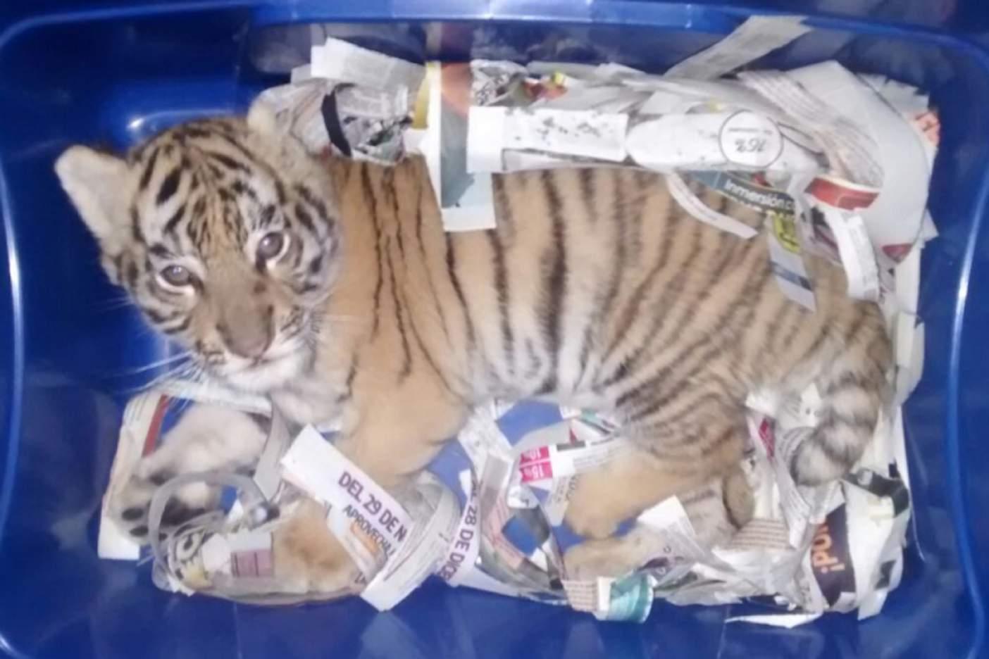 Encuentran cachorro de tigre de bengala empacado en caja de plástico